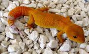 Kaufe Leopardgecko Tangerine
