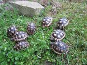 kleine Breitrandschildkröten NZ