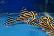 L46 Hypancistrus Zebra