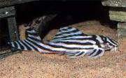 L46 Zebrawels - Hypancistrus