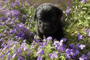 Labrador Welpen, schwarz,