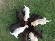 Labradorwelpen abzugeben