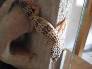 Leopardgeckos Nachzuchten 2014