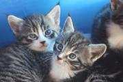 Maine-Coon-Mix-