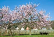 Mandelblüte Pfalz Reise -