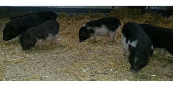 minischwein ferkel abzugeben in simmozheim nutztiere kaufen und verkaufen ber private. Black Bedroom Furniture Sets. Home Design Ideas