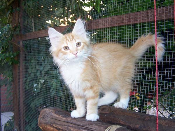 norwegische waldkatze kitten ebay