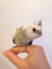 Nymphensittich-Baby Weißkopf