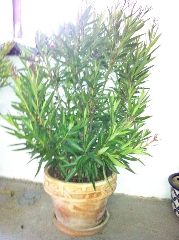 oleander in trracotta t pfen in ulm pflanzen kaufen und verkaufen ber private kleinanzeigen. Black Bedroom Furniture Sets. Home Design Ideas
