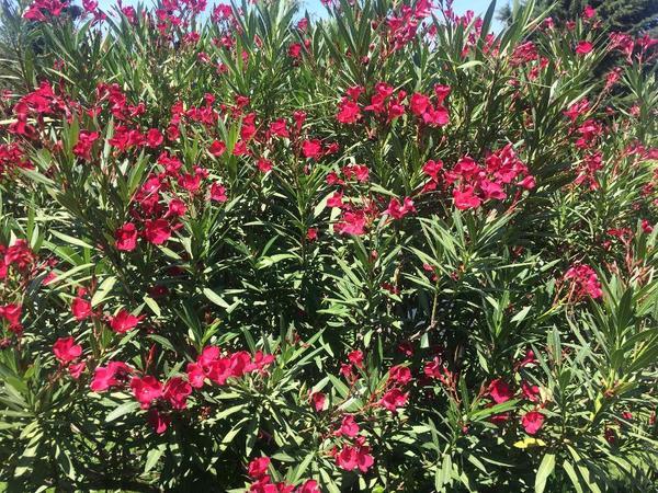 oleander zu verkaufen in mannheim pflanzen kaufen und verkaufen ber private kleinanzeigen. Black Bedroom Furniture Sets. Home Design Ideas
