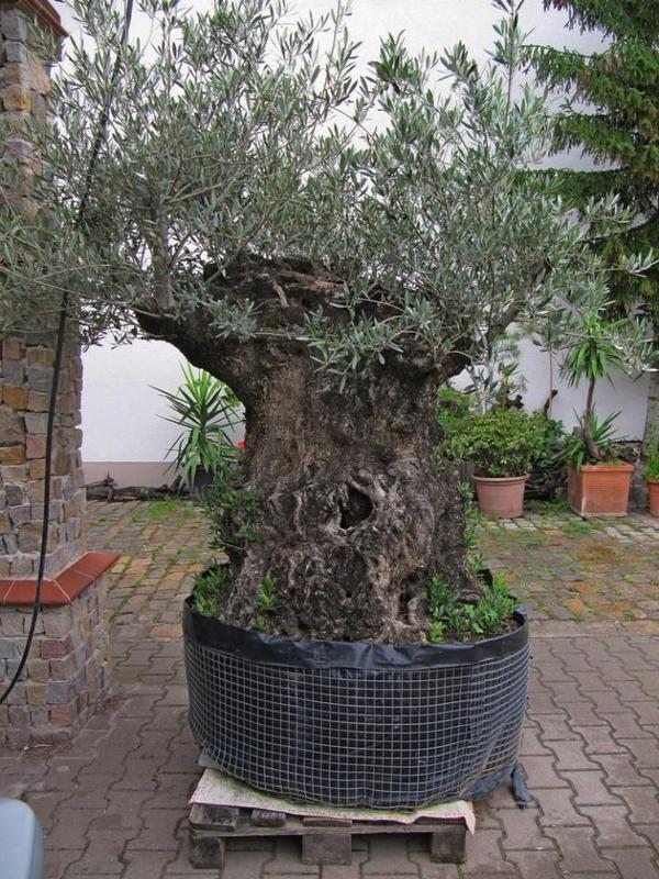 olivenbaum in n rnberg pflanzen kaufen und verkaufen ber private kleinanzeigen. Black Bedroom Furniture Sets. Home Design Ideas