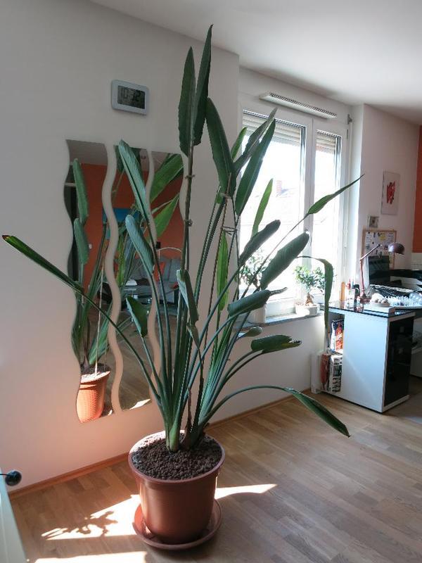 paradiesvogelblume strelitzia reginae h he ca 210 cm in m nchen pflanzen kaufen und verkaufen. Black Bedroom Furniture Sets. Home Design Ideas