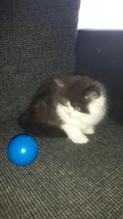 Perser Babys Kitten