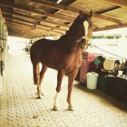 Pferd, Oldenburger Wallach,