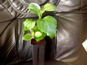 Pflanze: Dermatobotrys saundersii