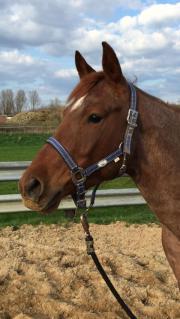 Quarter Horse Stute -