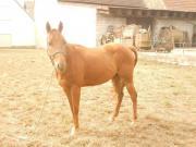 Quater Horse Wallach,