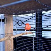 Rotes Kanarienvogel-Weibchen