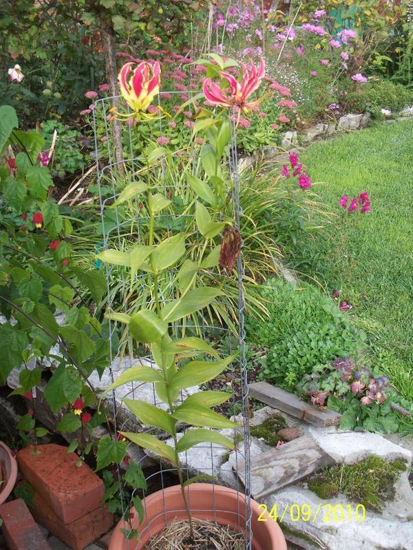 ruhmeskrone gloriosa rothschildiana rankende lilie 15. Black Bedroom Furniture Sets. Home Design Ideas