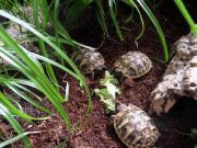 Schildkröten, Griechische Landschildkröte