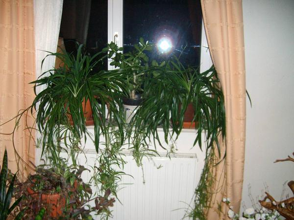 sch ne gut gewachsene gr nlilien bajonettpflanzen h ngepflanzen u ablegerr in neustadt. Black Bedroom Furniture Sets. Home Design Ideas