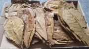 Seemandelbaumblätter in verschiedenen