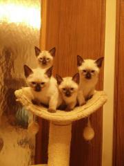 Siam Kitten zu