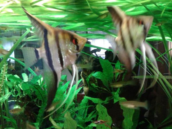 Skalar pterophyllum scalare in oftersheim fische for Skalar aquarium