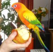 Sonnensittich (kleiner Papagei)