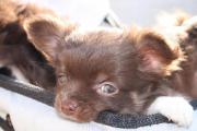 Super süße Chihuahua