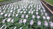 Top-Plant Erdbeerpflanzen