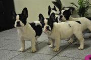 Typvolle Franz. Bulldoggen