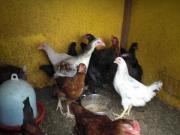 Verschiedene Hühner zu