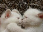 Verschmuste BKH Kitten
