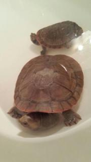 Wasser Schildkröte