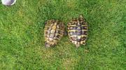 Weibliche Grichische Landschildkröte/