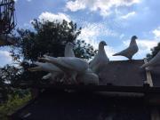 weiße Tauben abzugeben