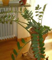 Wohnzimmer-Pflanze mit