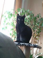 Wunderschöne schwarze Katze