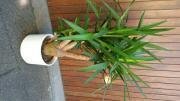 Yucca Palme / Stamm