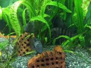 Zebrabuntbarsche (Cichlasoma nigrofasciatum)