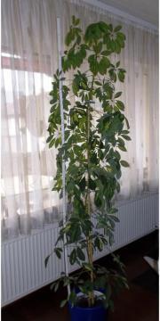 Zimmerpflanze Grünpflanze Strahlenaralie (
