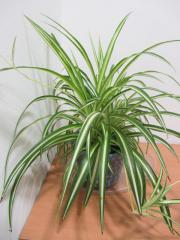 Zimmerpflanze - Monstera, Schiefblatt,