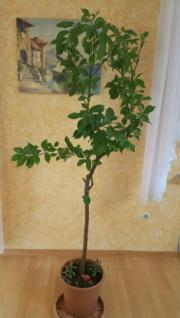 Zitronenbaum ca. 180