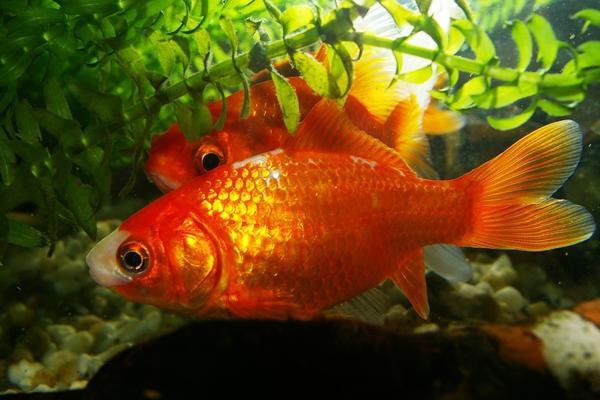 Goldfische kleinanzeigen tiermarkt deine for Fischfutter goldfische teich