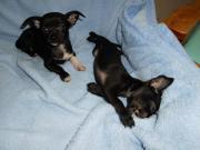 Zwei reinrassige Chihuahua