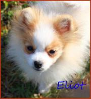 Zwergspitzrüdenwelpe Elliot gescheckt