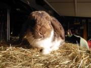 Zwergwidder-Kaninchen ) wildfarben-