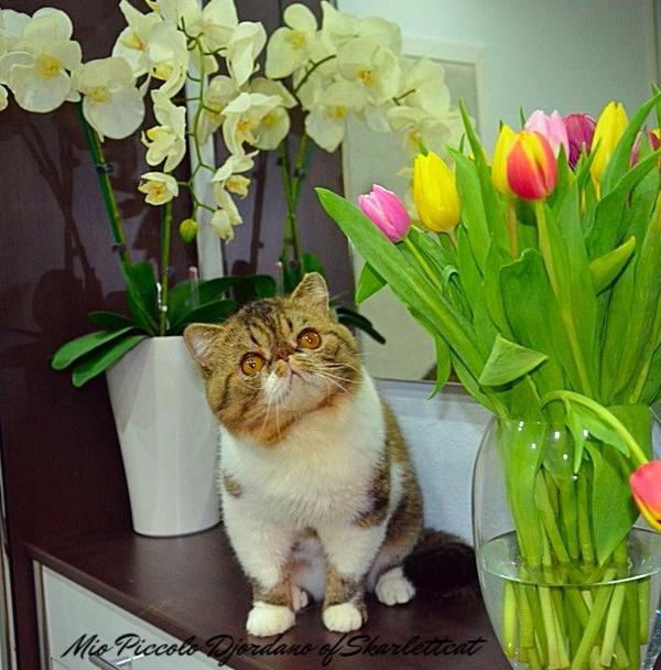 1-jähriger Exotic » Katzen
