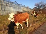 2 Kühe Mutter